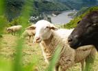 Schafe am Rheinsteig