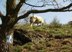 Schaf am Rheinsteig